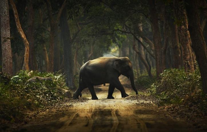 Dudhwa elephant