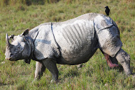 dudhwa rhino