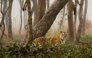 Dudhwa tiger