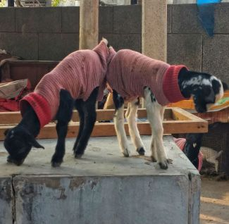 delhi-goats